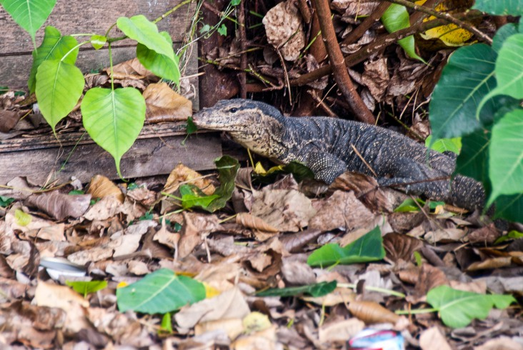 Dark and massive body of a monitor lizard emerges from the water, only to disappear in the foundation of our restaurant.