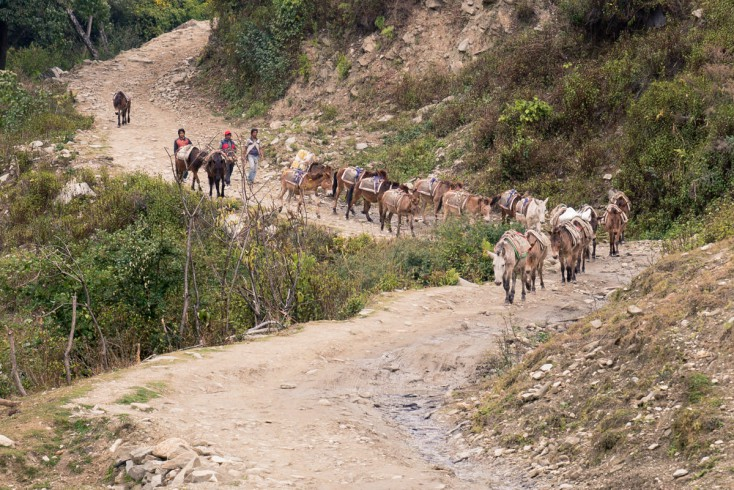 On a gravel road, a herd of brown, long-eared mules, sways the saddlebags in a steady trot.